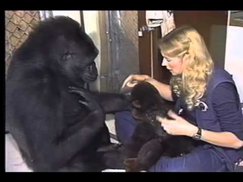 Kaarten met apen, A Conversation With Koko one of the Apes