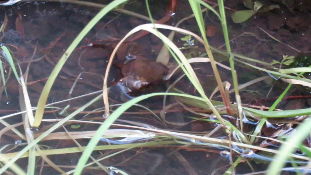 Crinia signifera – froglets 2018