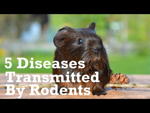 Video 5 Diseases Transmitted By Rodents Within the Home