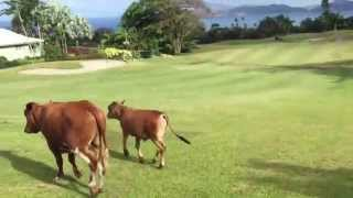 preview picture of video 'Running with the Bulls on Nevis at the Four Seasons'