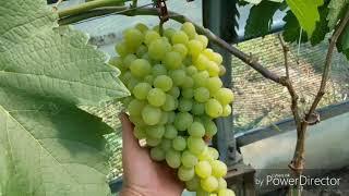 виноград в теплице 14 июля 2018 г.