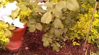 Уход за садовыми розами в конце лета видео
