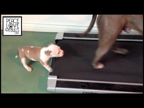 Pitbull Welpe auf dem Laufband