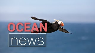 Why are Thousands of Tufted Puffins Dying? | Ocean News - Episode 6