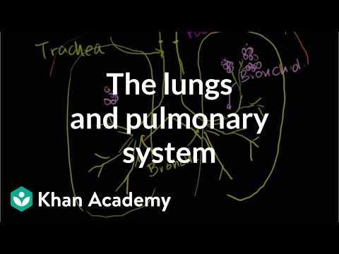 The lungs and pulmonary system (video) Khan Academy