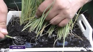 Growing Leeks - Transplanting and Planting Leeks