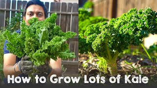 How to Grow Lots of Kale | Complete Guide Seed to Harvest