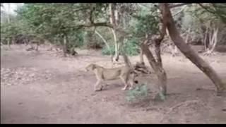 A Buffallo In Gir Jungle Of Gujarat Compels Lioness To Run Away