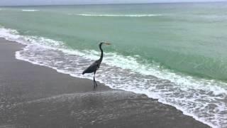 Blue Heron on the beach in Longboat Key, Florida