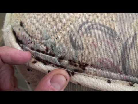 Bedbugs Can Carry Hep B Amp Hiv Virus Bed Bugs Bites