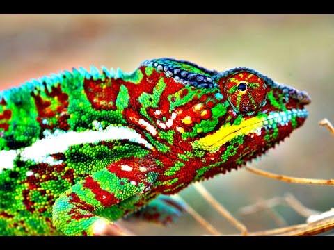 Jak chameleoni mění barvu?