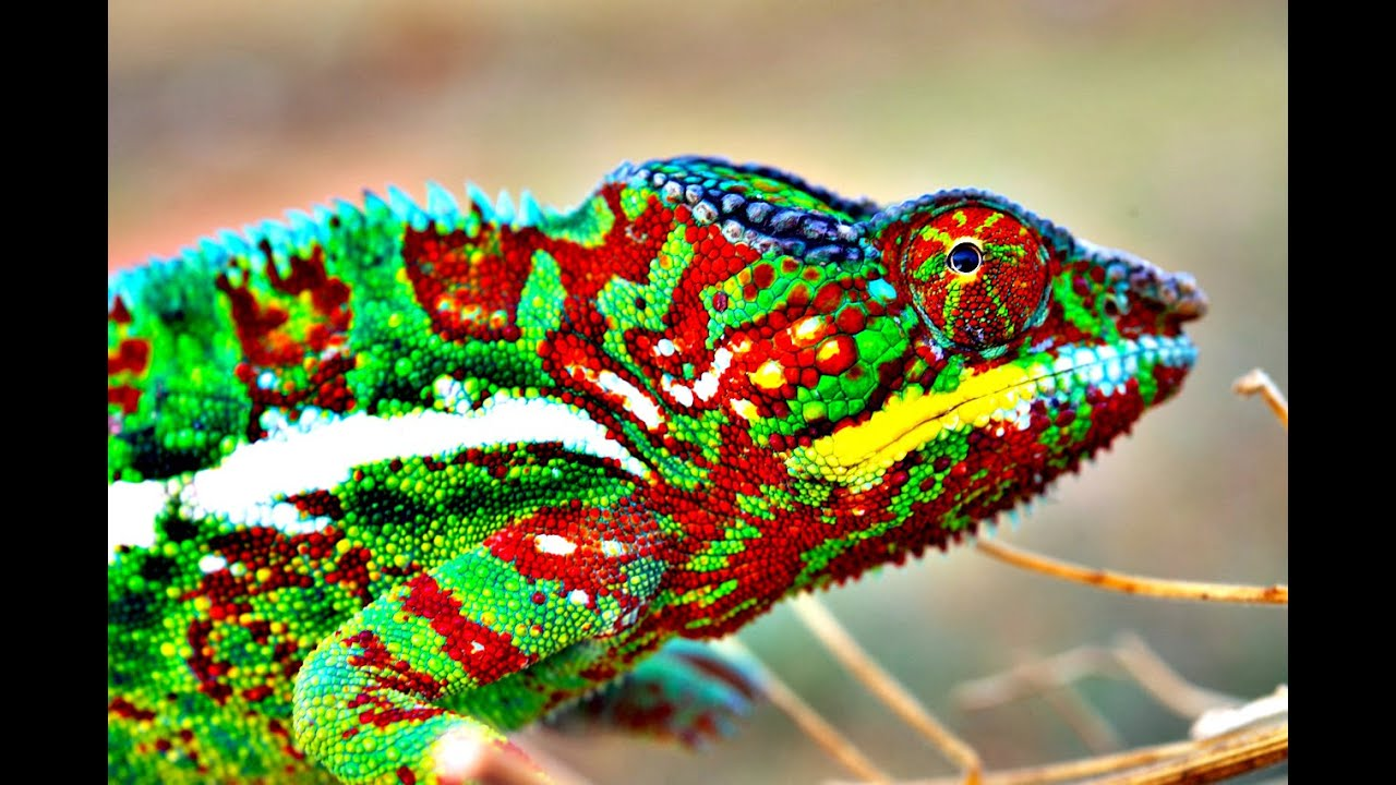 Jak Barvita Je Mluva Chameleonu 21stoleti Cz