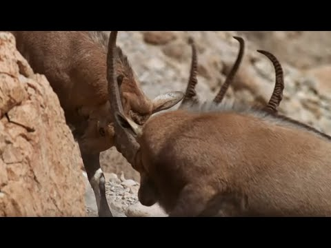 Best Animal Mating Fights | Top 5 | BBC Earth