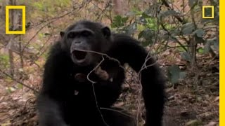 Chimp Showoffs | National Geographic thumbnail
