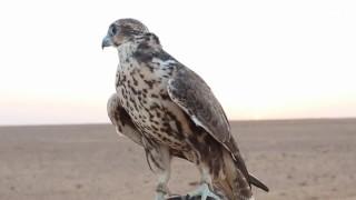 تحميل اغاني موسم صيد الصقور يبدأ في شمال السعودية MP3