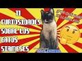 12 Curiosidades Sobre Los Gatos Blancos - SiamCatChannel