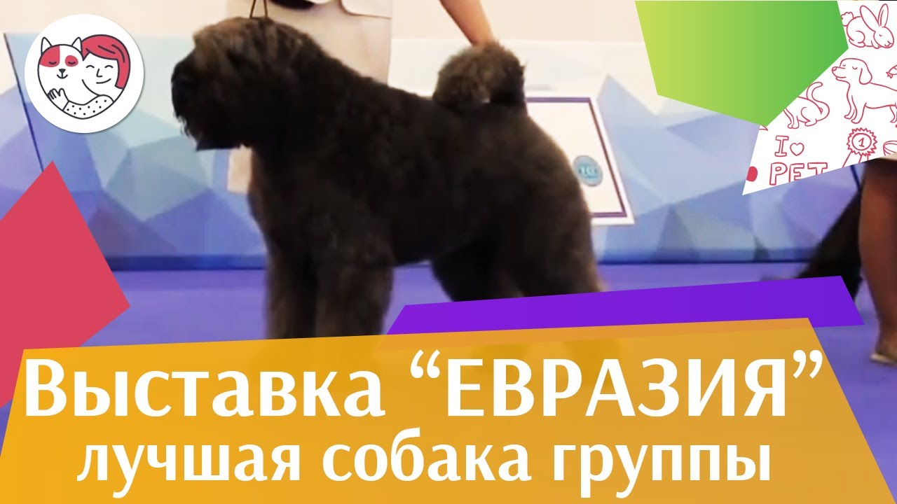 Лучшая собака 1 группы по классификации FCI 18 марта на Евразии 17 ilikepet