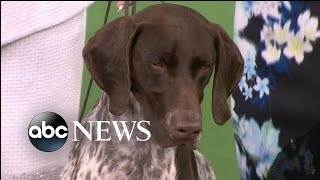 German Shorthaired Pointer Wins Best In Show At Westminster