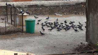 Cat Kill Pigeon