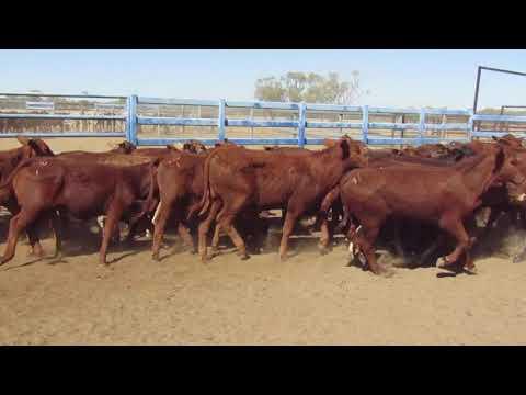 61 Weaned Heifers