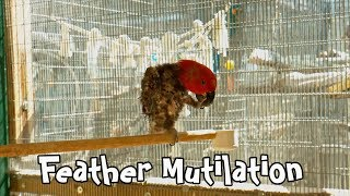 How to Stop Parrot Feather Plucking Behavior