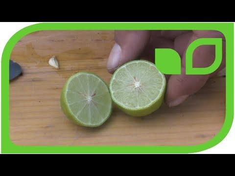 Mexikanische Limetten: Ernten, schneiden, degustieren