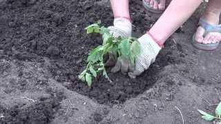 Смотреть онлайн Правила посадки помидоров в открытый грунт весной
