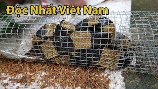 Tay Run , Mắt Mờ  Khi Bẫy Dính Con Rắn Độc Nhất Việt Nam