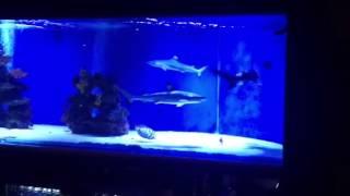 Saltwater Fish Tank, Blacktip Shark Aquarium for Home