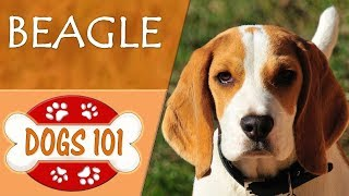 Dogs 101 - BEAGLE - Top Dog Facts About The BEAGLE