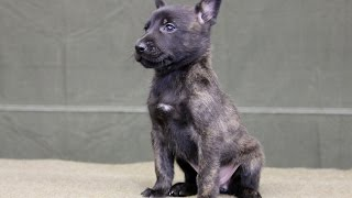 Critical Stages in Puppy Development - Imprinting (4 - 16 weeks)