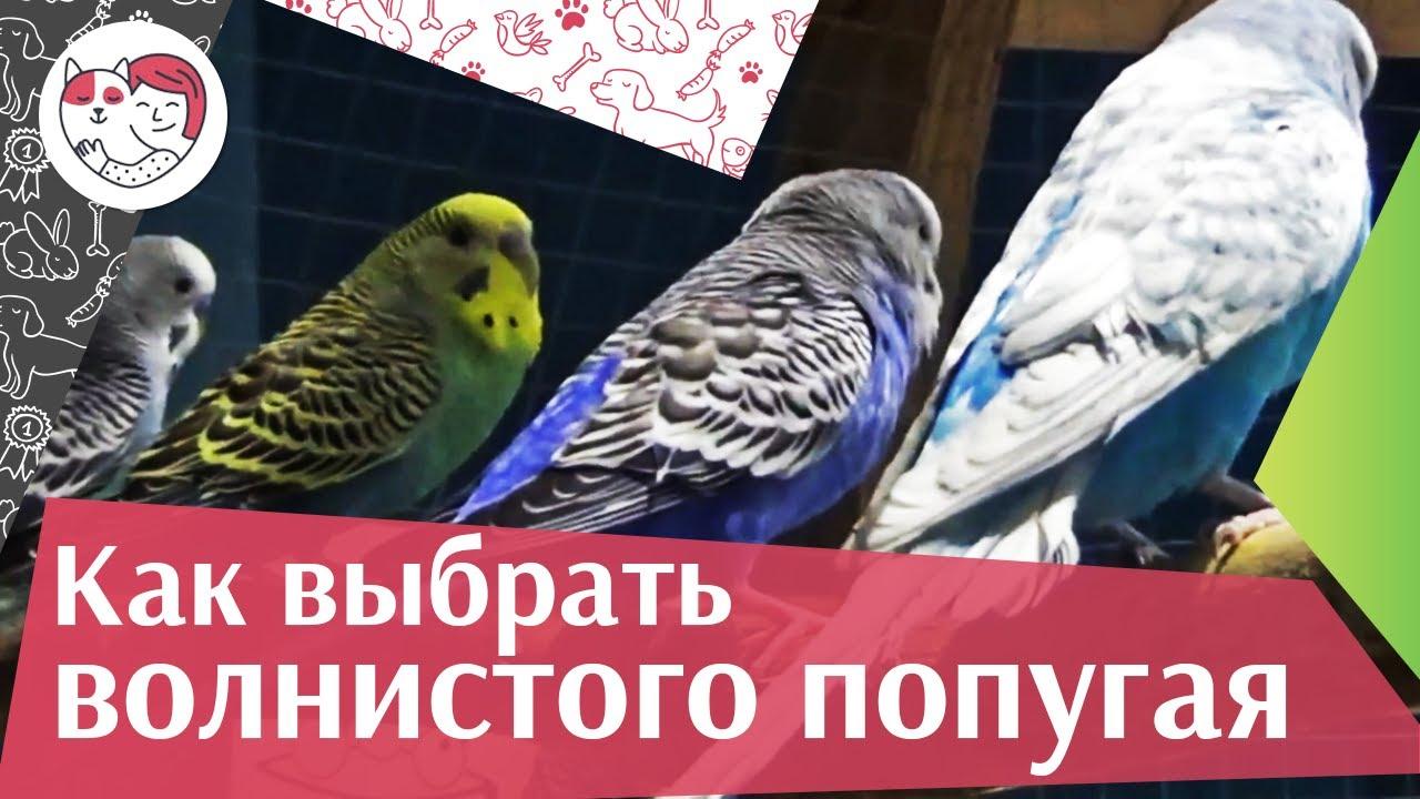 Выбираем волнистого попугая: советы на ilikepet