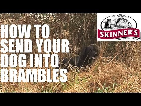 Gundog training tips – how to go into brambles