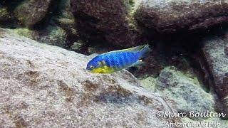 Mara Rocks Lake Malawi - African Cichlids - HD Underwater Footage