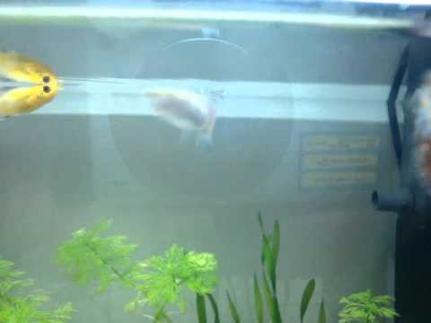 Sala Parto Guppy : Perché le femmine del guppy crescono magre e muoiono peso di