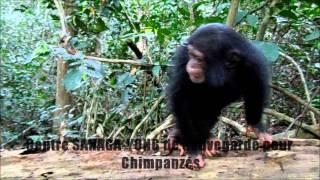 preview picture of video 'Centre SANAGA-YONG Sauvegarde_Chimpanzés_CAMEROUN'
