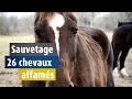 Maigres et affamés, 26 chevaux sauvés par 30 Millions d'Amis