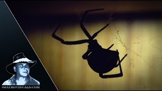 Dying Black Widow With Eggs 01 Footage