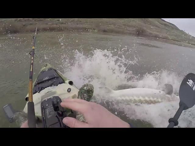 Monster 8ft Sturgeon nearly sinks kayak!!!