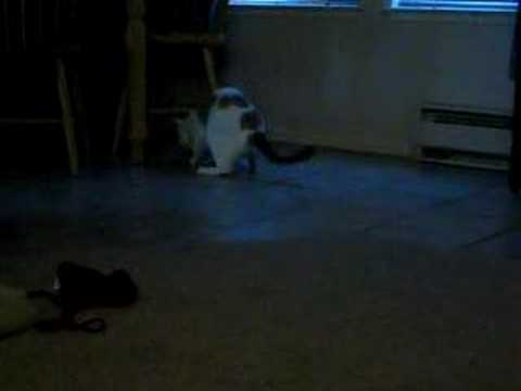 my cat playing fetch 1/3