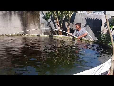 Video Cara  Budidaya Ikan Gurame Terkini   ~~~    Mudah, Efektif & Produktif