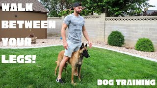 TEACH YOUR DOG TO WALK BETWEEN YOUR LEGS! Belgian Malinois
