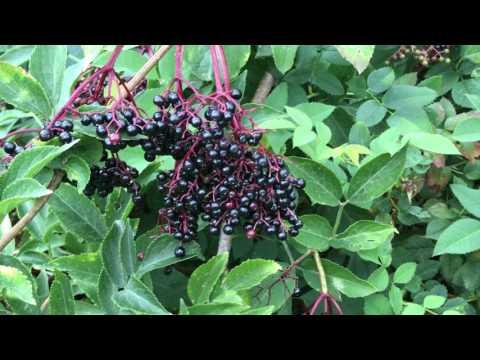 Negru plantar mâncărime