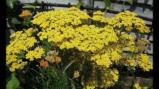 Magical Plants: Yarrow