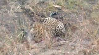 leopard hunts warthog from its hole