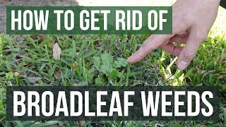 How to Get Rid of Broadleaf Weeds: Lawn Care Tips