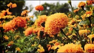 El Once es Tradiciones - De raíces mexicanas: Cempasúchil. Flor silvestre y campesina, flor espiritual