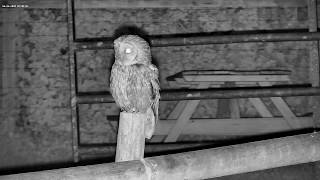 A Tawny Owl drops by - with sounds