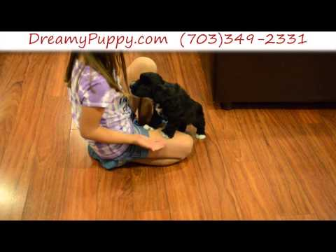 Stunning Schnoodle Female Puppy 2