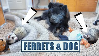 Cute Ferrets Play With Dog